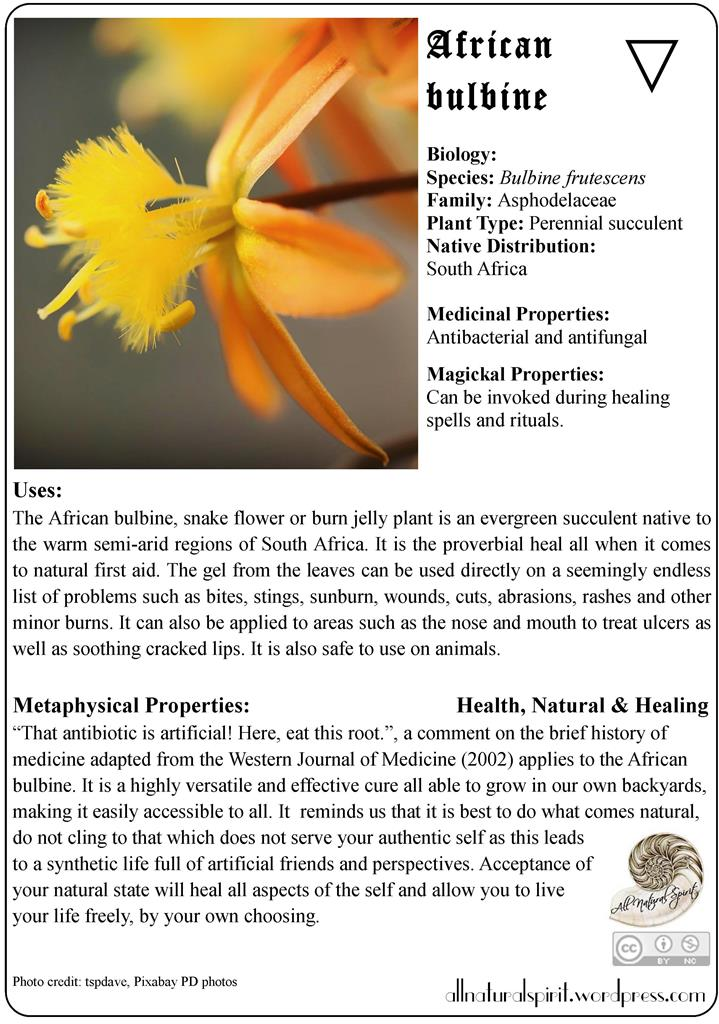 african, bulbine, snake, flower, burn, jelly, plant, water, orange, yellow, herbal, lore, meaning, properties, healing, medicinal, materia, medica, guide, metaphysics, oracle, card