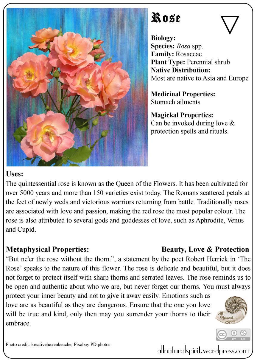 Rose Rosa Herbal Lore Magic Metaphysical Meaning Properties Healing Medicinal Materia Medica All Natural Spirit Water Love Beauty Protection