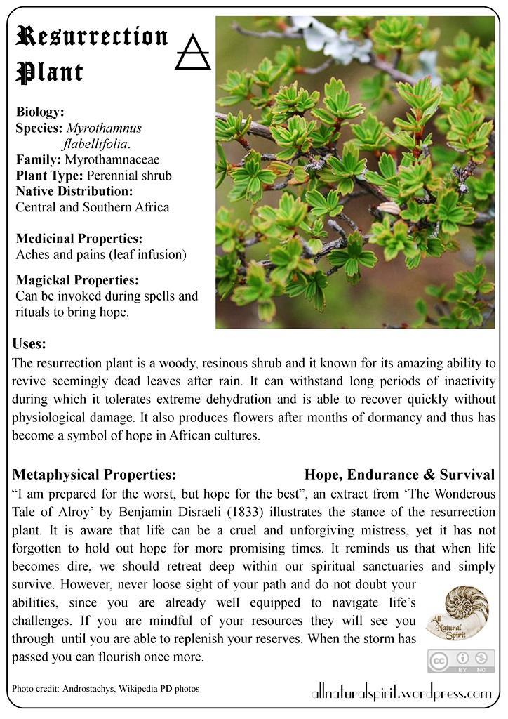 Herbal Lore #5: Resurrection Plant – Free OracleCard